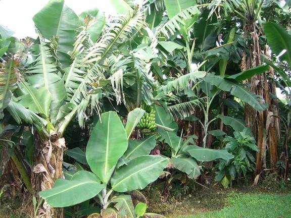 Bananenstaude auf der Kaffeeplantage