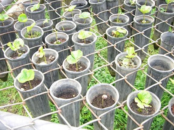 Kaffeepflanzen auf der Plantage