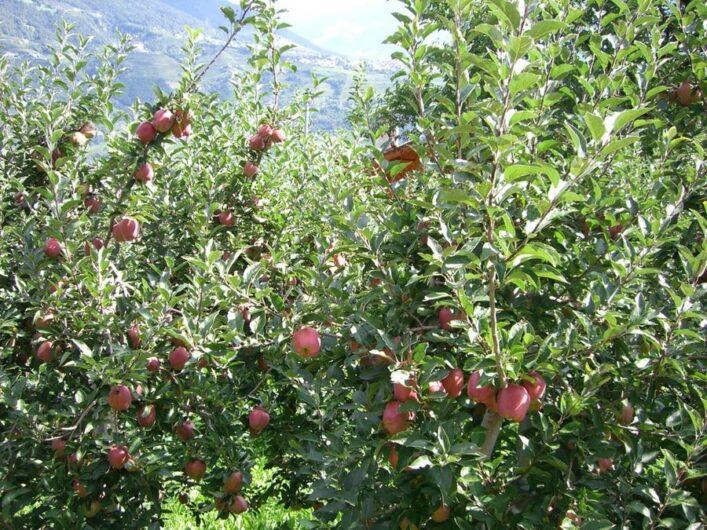 Apfelbäume mit roten Äpfeln direkt am Marlinger Waalweg