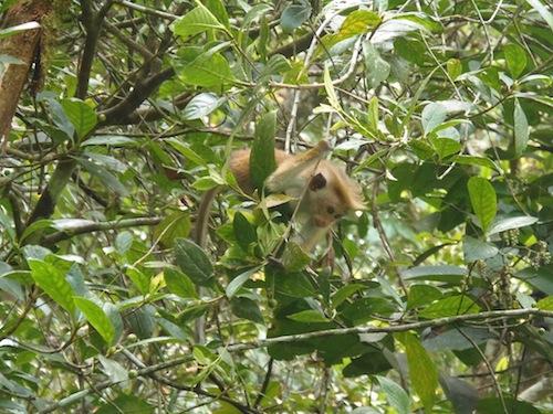 ein Affe turnt im Sinharaja Nationalpark durch die Bäume