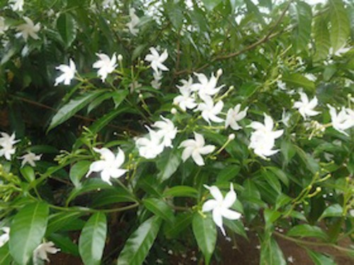 exotische Blüten in Sri Lanka