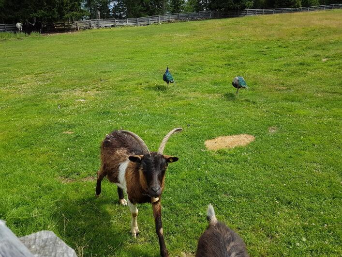 Ziegen und Pfauen auf der Weide der Wurzer Alm