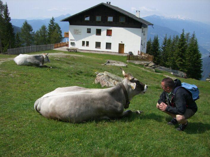 zwei Kühe liegen auf der Wiese vor dem Berggasthof Grube an der Bergstation des Sessellifts