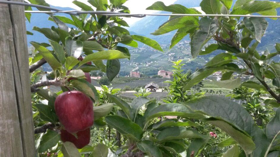 Blick zwischen Apfelbäumen hindurch auf Schenna und Dorf Tirol