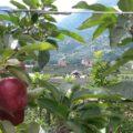 Blick zwischen Apfelbäumen hindurch Richtung Schenna und Dorf Tirol