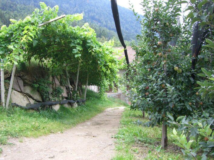 Der Schenner Waalweg führt vor dem Brunjaunhof zwischen Weinreben zur Linken und Apfelbäumen zur Rechten hindurch.