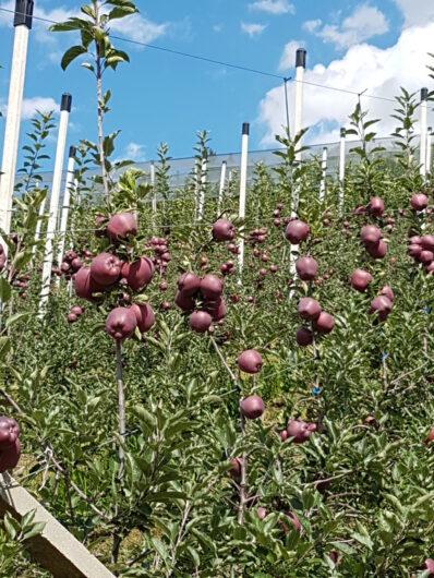 Apfelplantage voller roter Äpfel