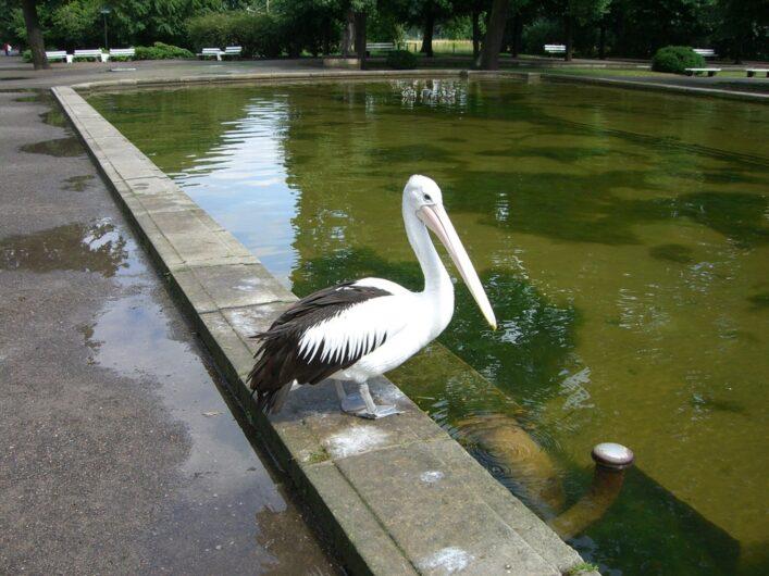 ein Pelikan sitzt an Wasserbassin im Tierpark Berlin