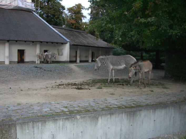 Blick auf die Zebras im Berliner Zoo