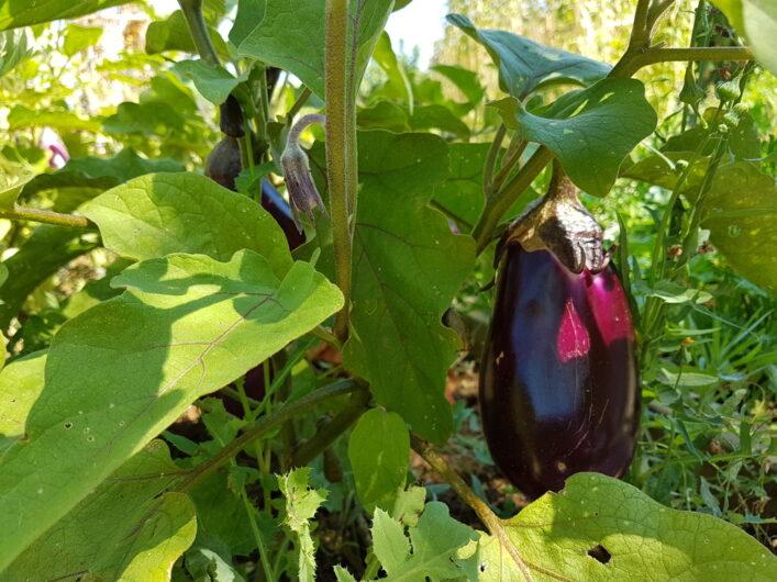 Auberginen wachsen im Garten des Hotels