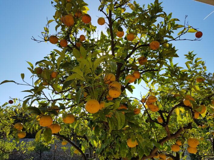 Zitrusfrüchte im Garten vom Hotel Tenuta Moreno