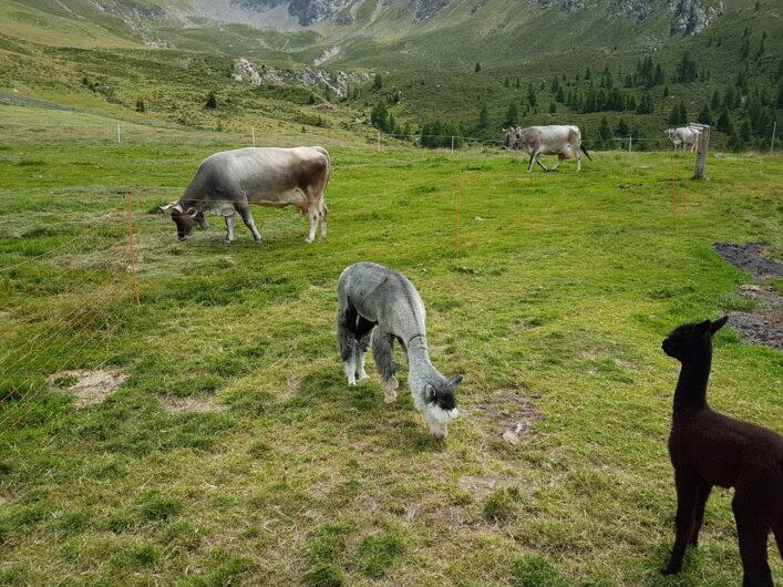 Alpakas und Kühe grasen auf der Weide der Hirzer Hütte