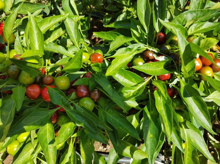 Tomaten wachsen im eigenen Garten der Tenuta Moreno