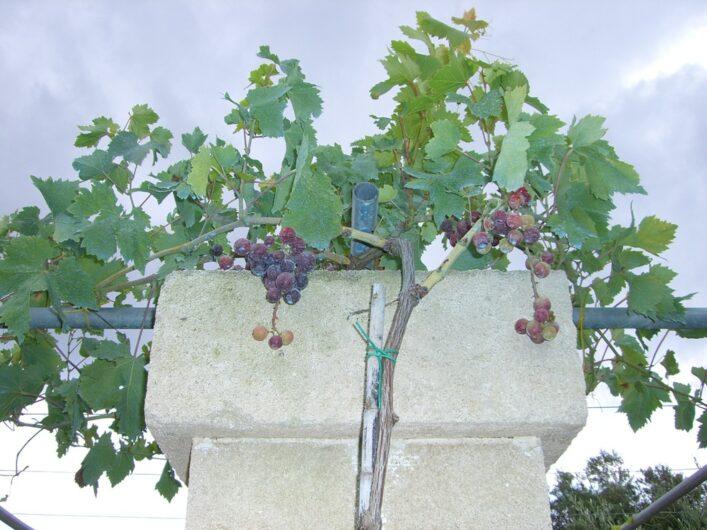 Weintrauben für gute Tropfen