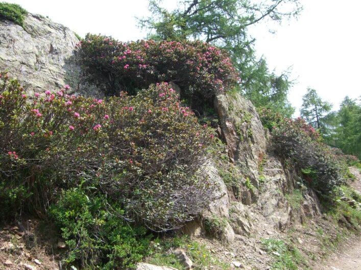blühende Alpenrosen am Wegesrand im Hirzergebiet