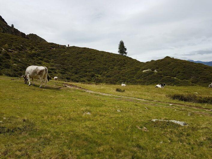 grasende Kühe auf den Wiesen neben dem Tallner Alm Kaser