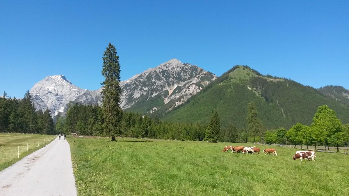 weidende Kühe direkt hinter dem Parkplatz Karwendeltäler und Blick auf die Gipfel