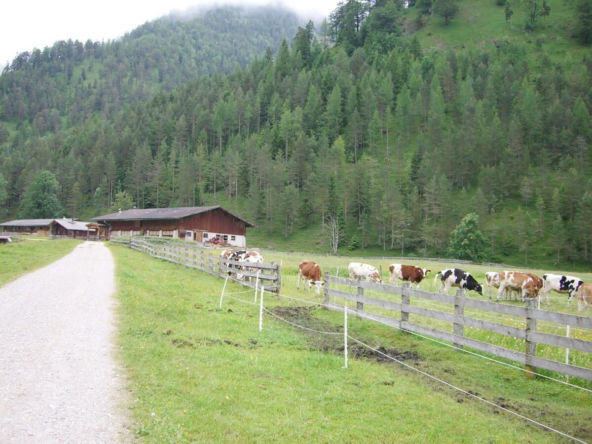 weidende Kühe an der Pletzachalm