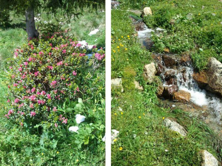 blühende Alpenrosen und ein plätschender Bergbach auf Meran 2000