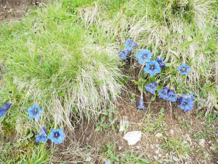 blauer Enzian am Wegesrand
