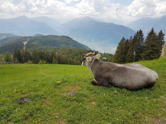 Kuh liegt auf der Weide an der Bergbahn Meran 2000 und Blick auf die Ortlergruppe in der Ferne