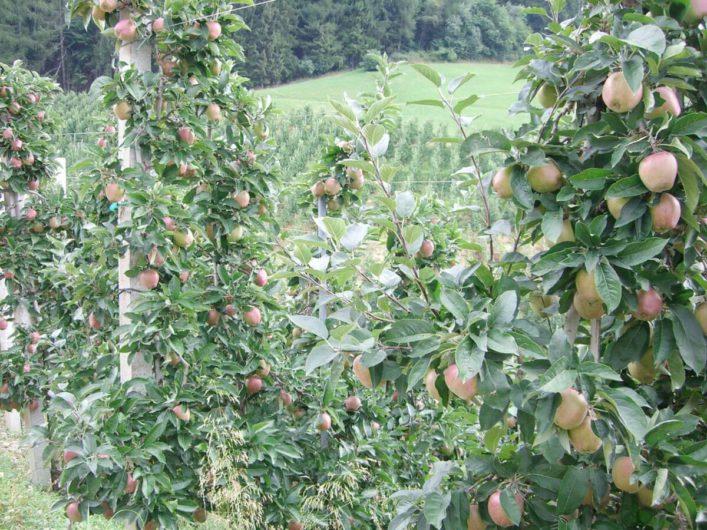 Apfelbäume direkt am Wanderweg im Meraner Land