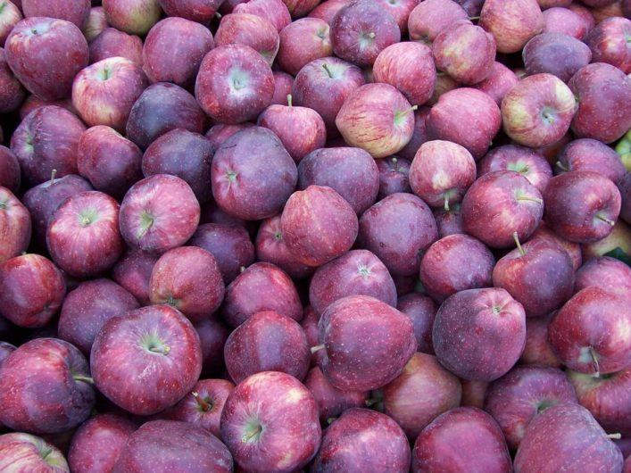 frisch geerntete tiefrote Äpfel im Meraner Land
