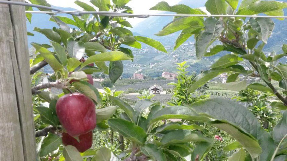 Blick zwischen Äpfeln hindurch auf Schenna