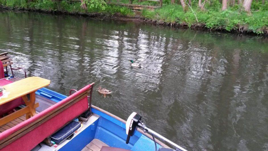 Enten schwimmen neben dem Kahn auf der Spreewaldfahrt