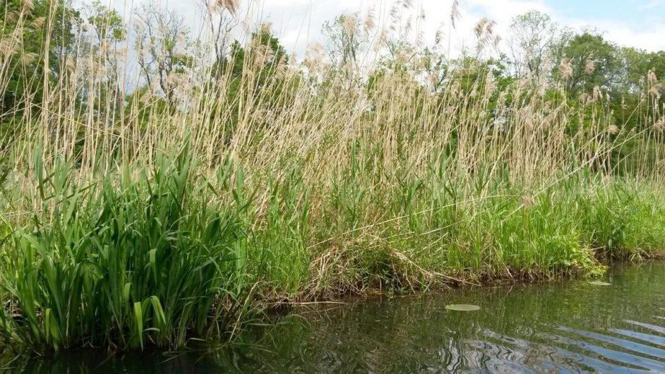 Schilf neben den Fließen im Spreewald