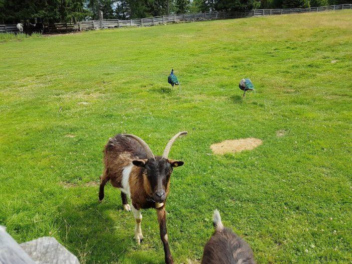 Ziegen und Pfauen auf einer Weide hinter der Wurzer Alm