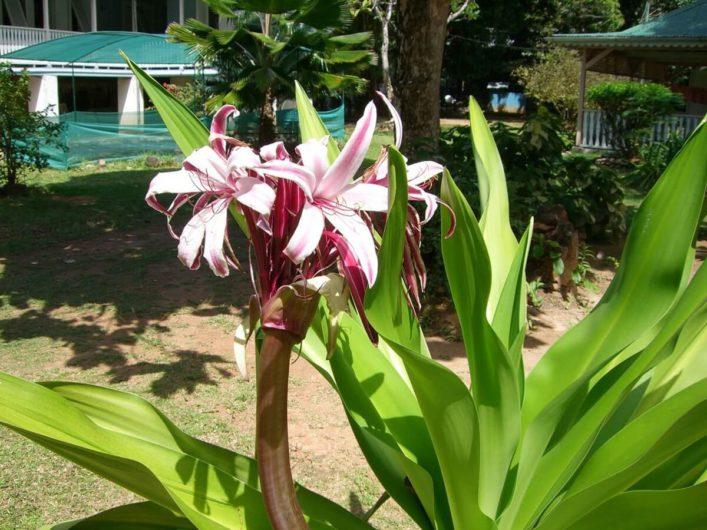 tropische Blumen auf den Seychellen