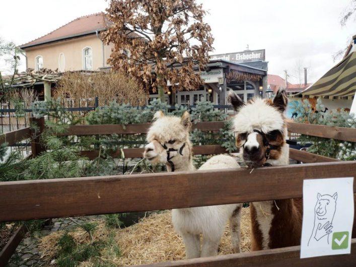 Alpakas auf dem Weihnachtsmarkt im Großen Spreewaldhafen von Lübbenau