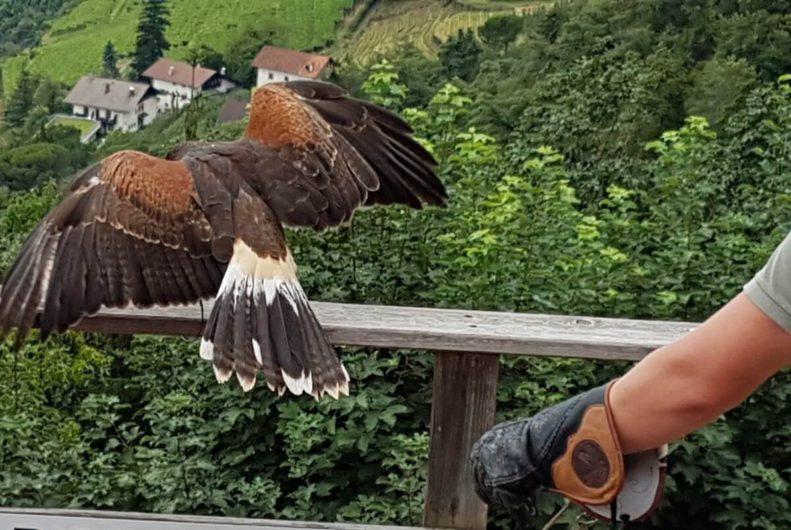 Greifvogel bei der Flugschau auf Schloss Tirol