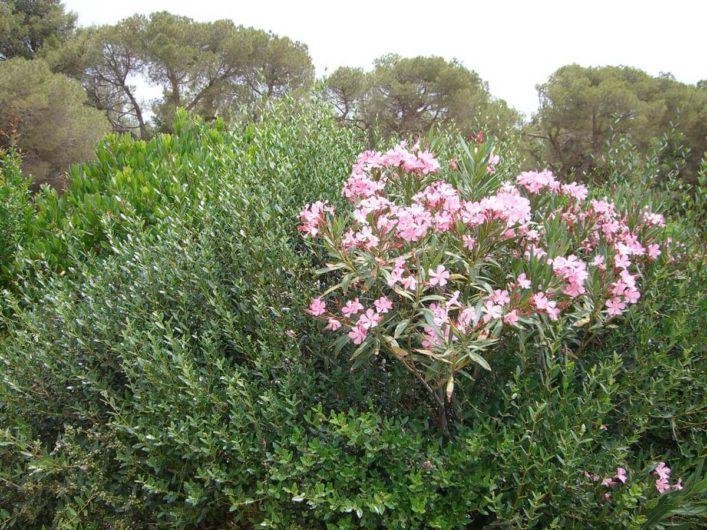 blühender Oleander am Castel del Monte