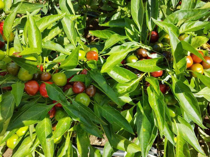 Tomaten am Strauch