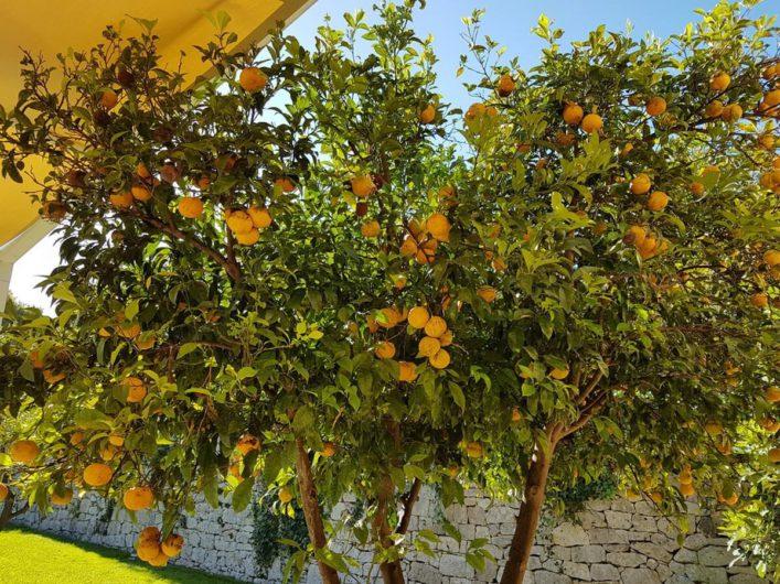 Zitrusbäume in der Tenuta Moreno