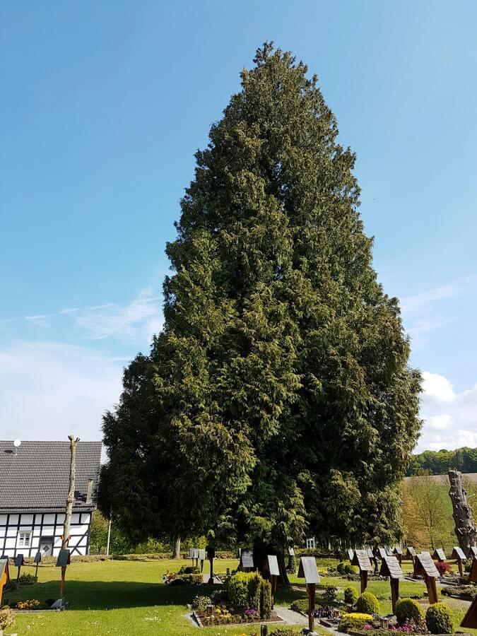 Lebensbaum auf dem Kirchhof in Wormbach im Sauerland