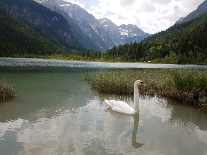 Schwan auf dem Jägersee in Kleinarl vor herrlicher Bergkulisse