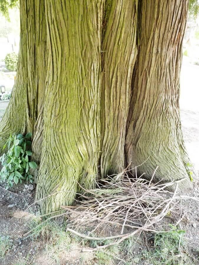 Stamm des Lebensbaumes auf dem Kirchhof in Wormbach