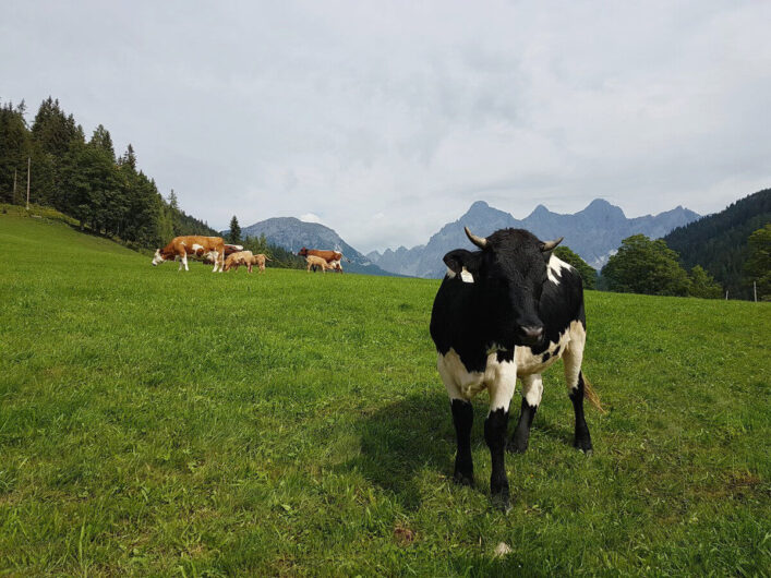 Kühe auf der Weide mit Blick auf die Gipfel des Dachstein