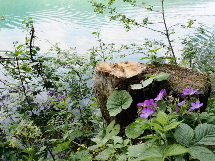 lila Blüten an einem Baumstamm vor dem Hintergrund des Jägersees