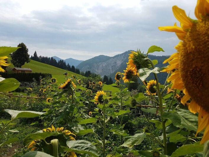 blühende Sonnenblumen vor einer Bergkulisse