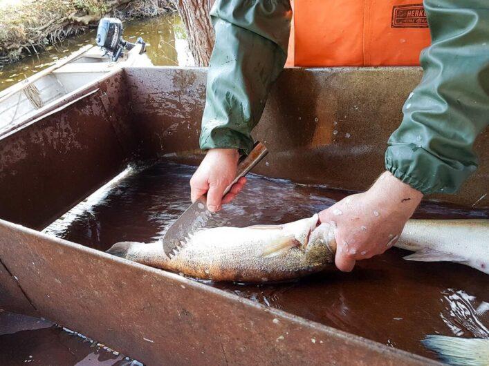 fangfrischer Fisch wird entschuppt