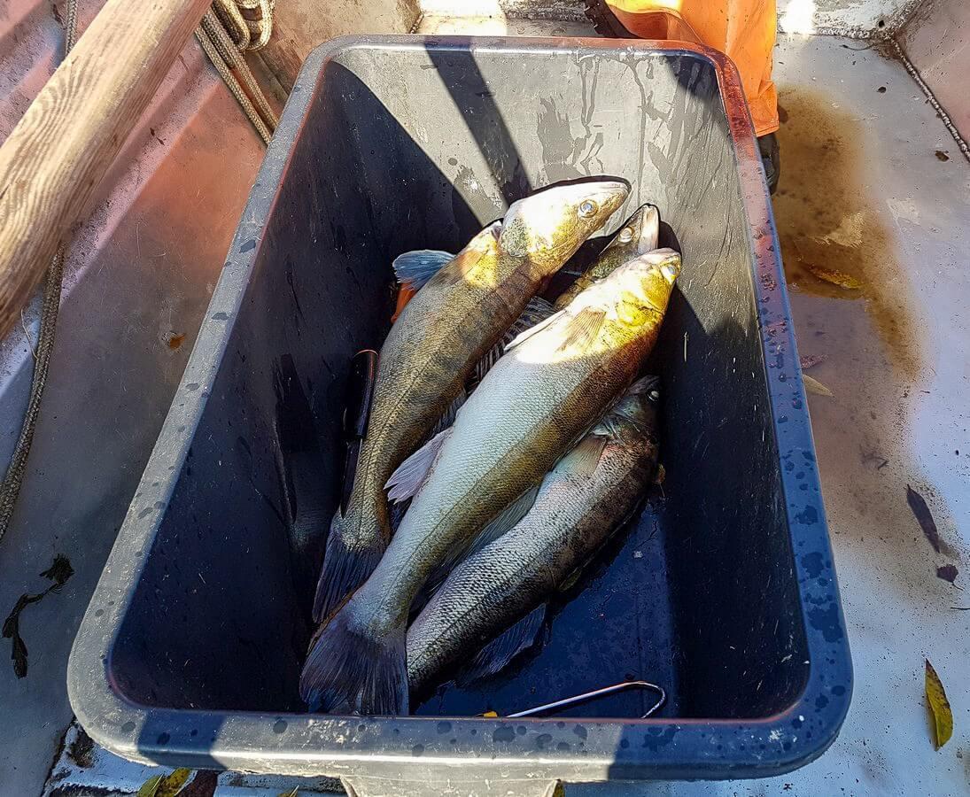 gefangene Fische in einer Wanne