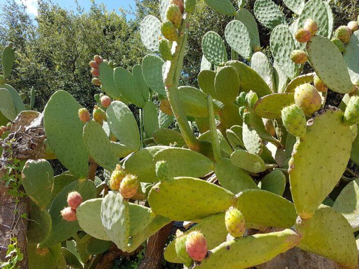 Kaktus mit Früchten in Italien