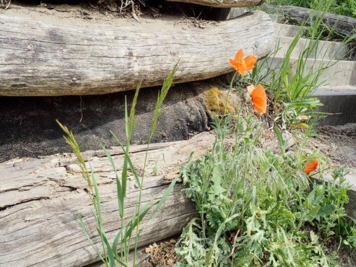 Mohnblumen am Holz der Treppe zum Drachenberg