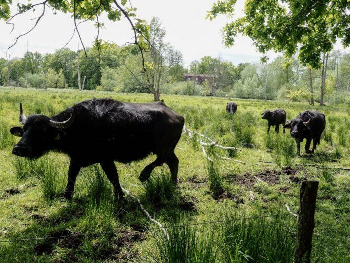 Wasserbüffel-Herde am Tegeler Fließ