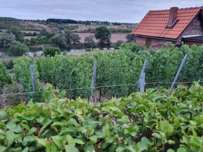 Blick auf die Weinreben des Burgwerbener Herzogsbergs