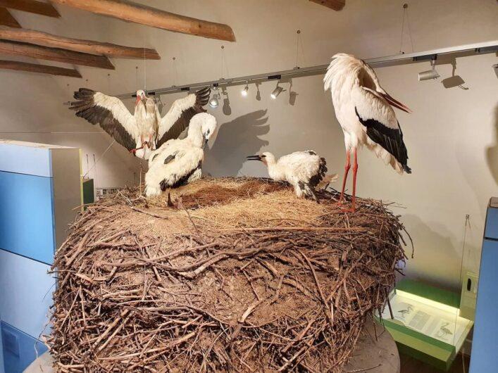 Störche auf ihrem Nest im Storchenmuseum